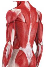 腰部の筋肉