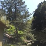 松の木の伐採