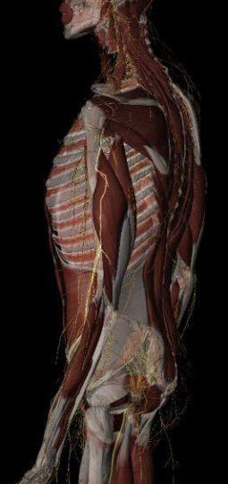 光っているのが橈骨神経