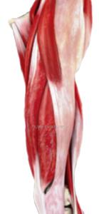 大腿外則の筋