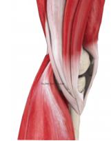 膝内側の筋